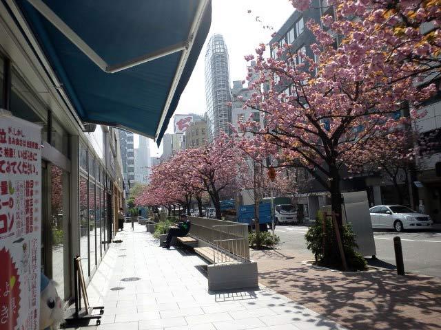 かおりんが出没する銀座1丁目。 八重桜が満開になっています。